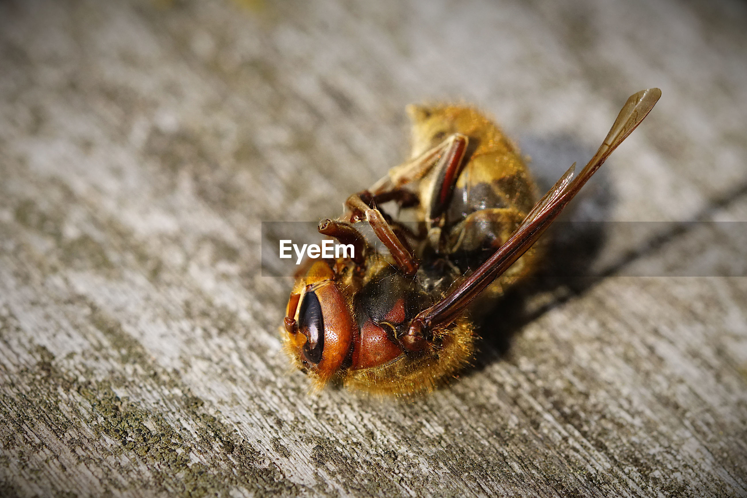 CLOSE-UP OF BEE ON WOODEN FLOOR