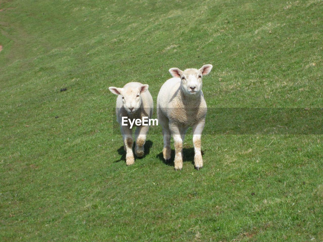 Two Lambs Looking At Camera
