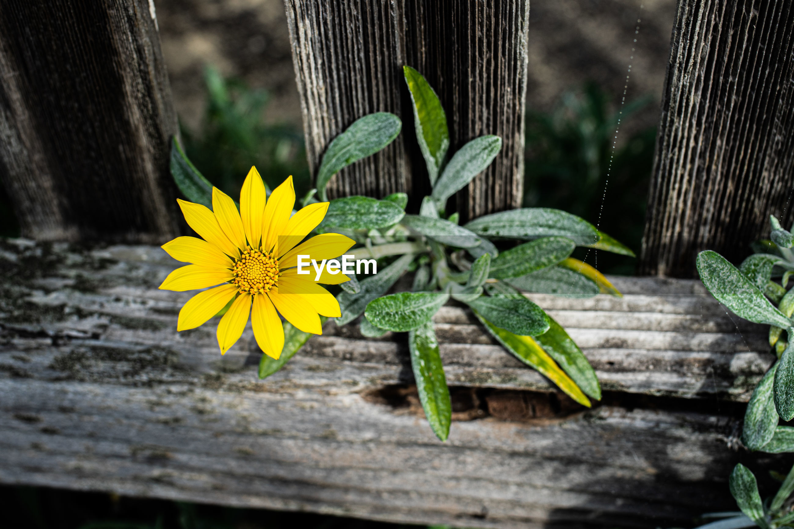 CLOSE-UP OF YELLOW FLOWERING PLANT AGAINST WOODEN WALL