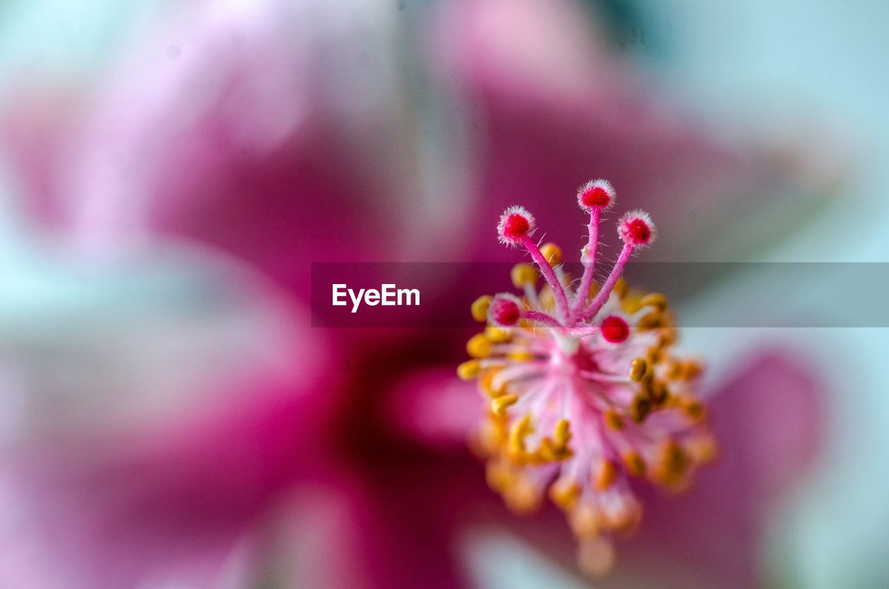 flower, flowering plant, fragility, vulnerability, freshness, beauty in nature, plant, close-up, selective focus, petal, pink color, growth, pollen, flower head, inflorescence, no people, nature, day, outdoors, stamen