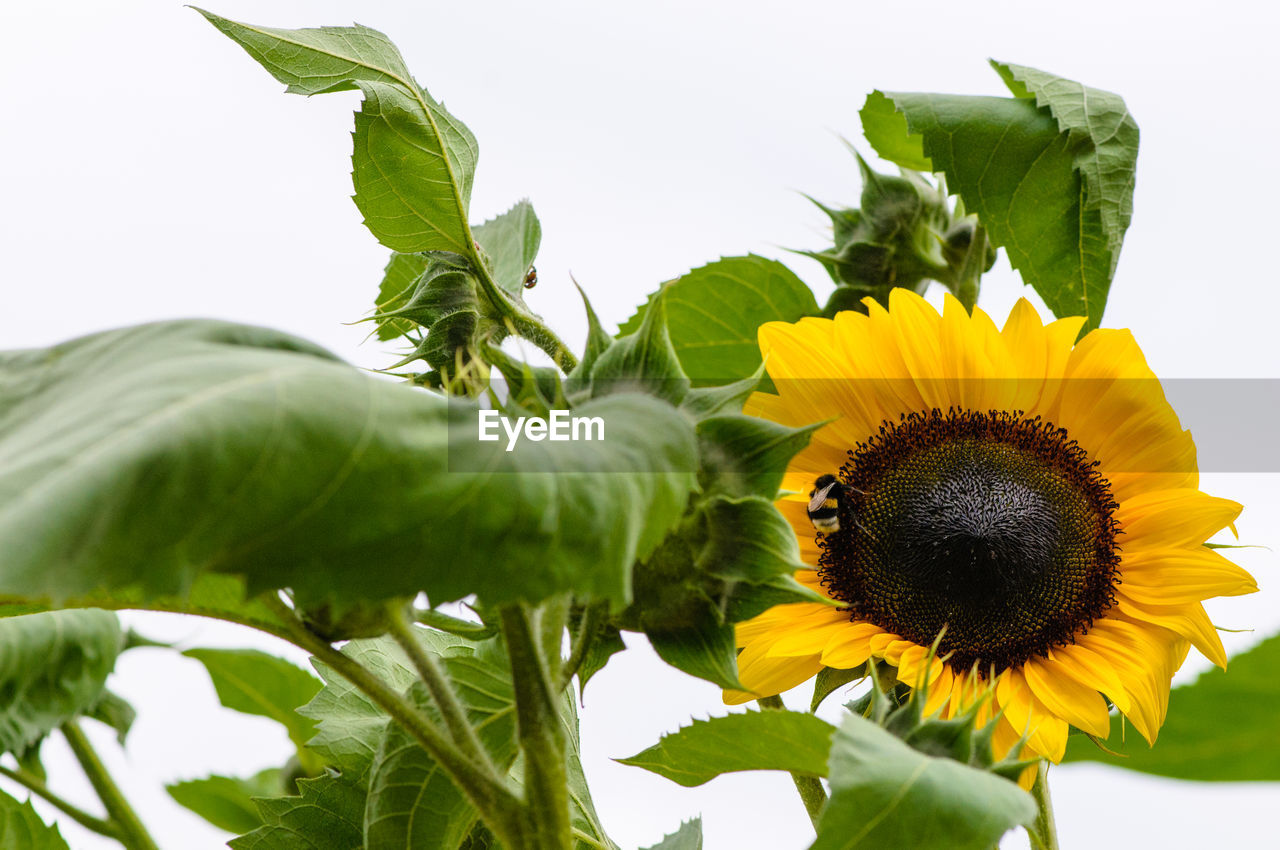 Close-Up Of Sunflower On White Background