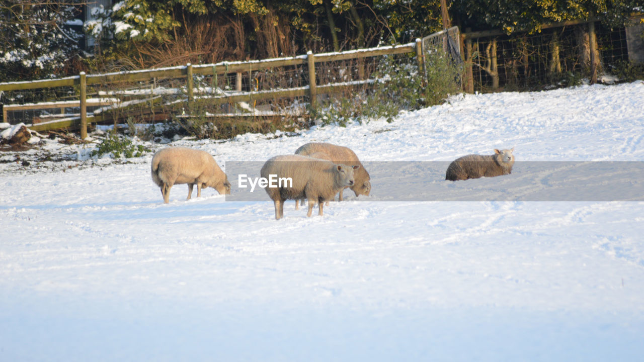 snow, winter, cold temperature, animal, mammal, animal themes, animal wildlife, nature, tree, group of animals, animals in the wild, no people, day, vertebrate, land, landscape, domestic animals, non-urban scene, plant, outdoors, herbivorous, snowing