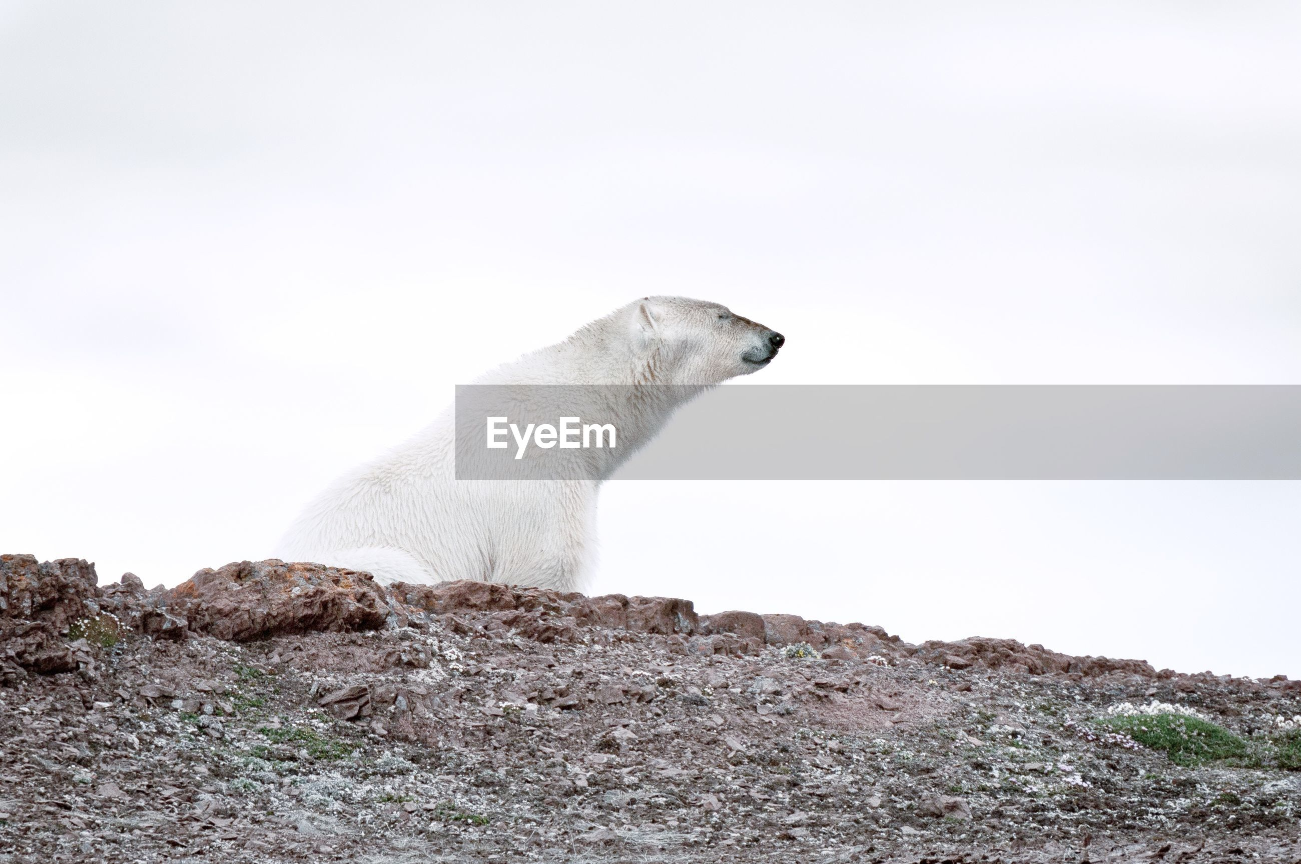 Polar bear on field against sky