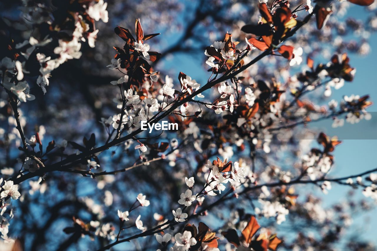 plant, tree, branch, growth, flowering plant, flower, fragility, focus on foreground, beauty in nature, blossom, springtime, vulnerability, day, low angle view, no people, nature, freshness, close-up, twig, selective focus, outdoors, cherry blossom, cherry tree, spring