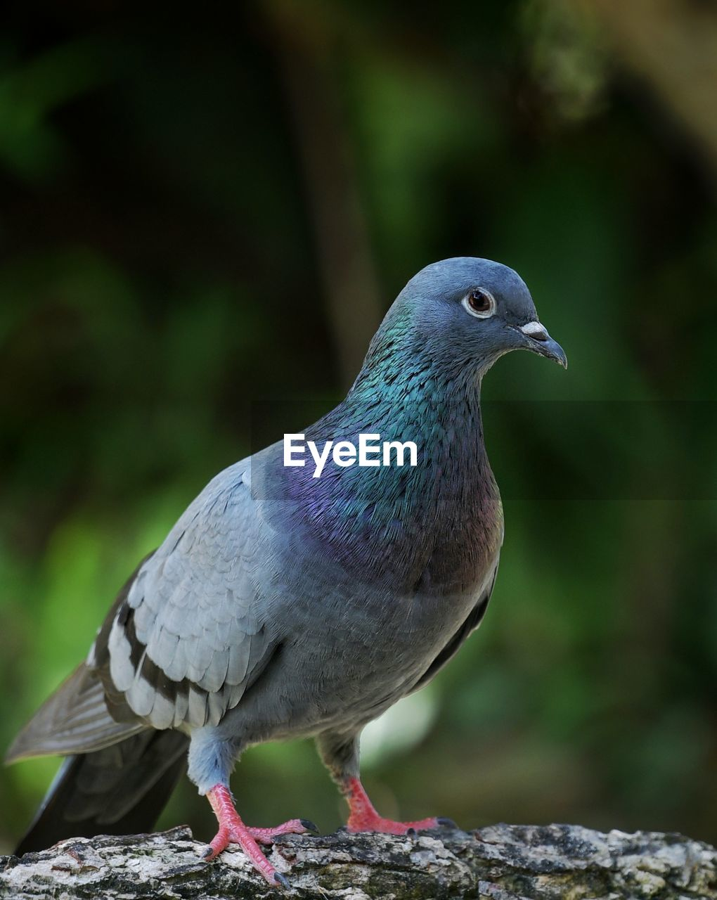 animal themes, bird, vertebrate, animal, animal wildlife, animals in the wild, one animal, focus on foreground, close-up, perching, day, no people, nature, solid, pigeon, zoology, looking, looking away, outdoors, full length