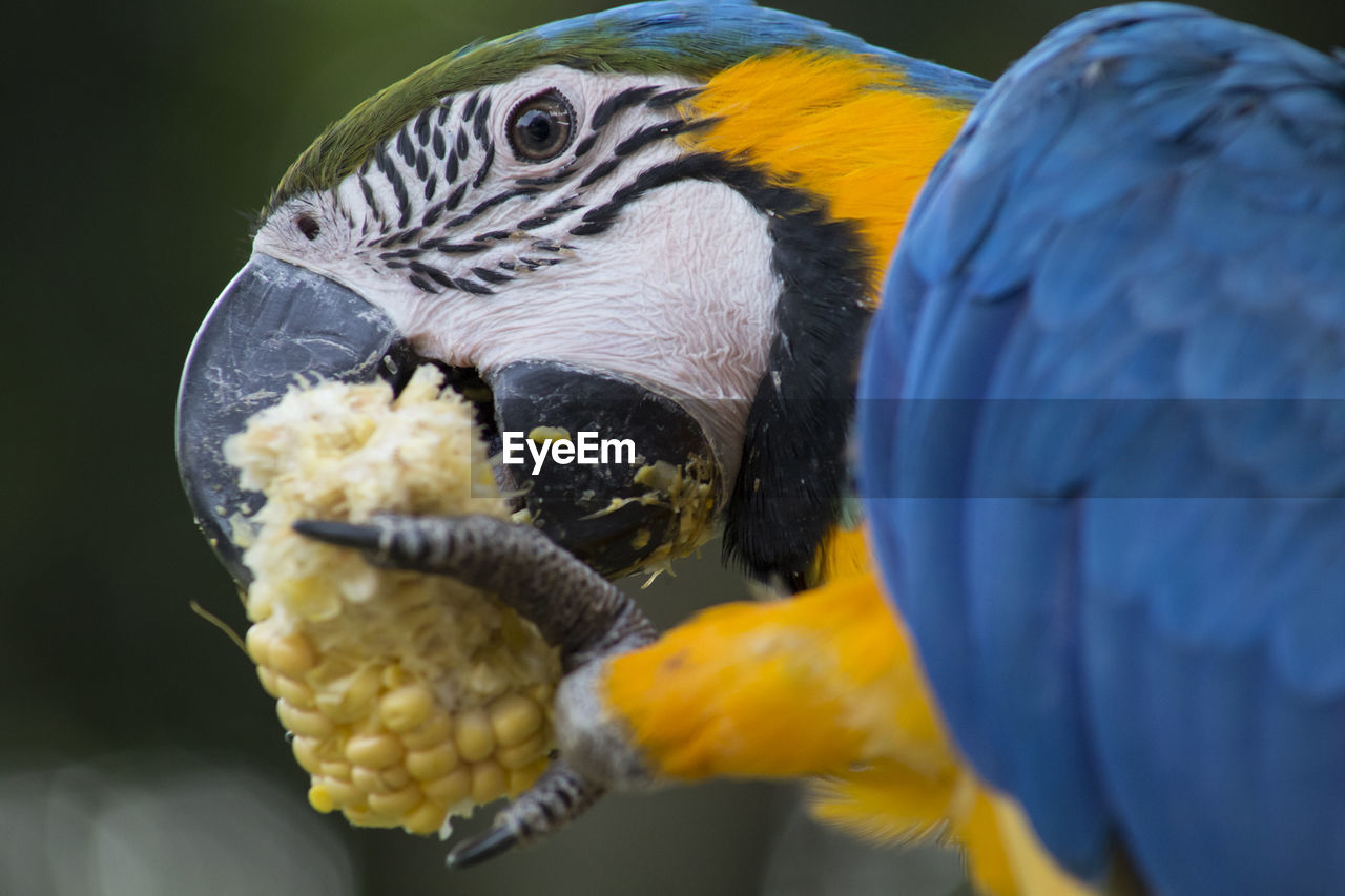 Close-up of blue and gold macaw eating corn