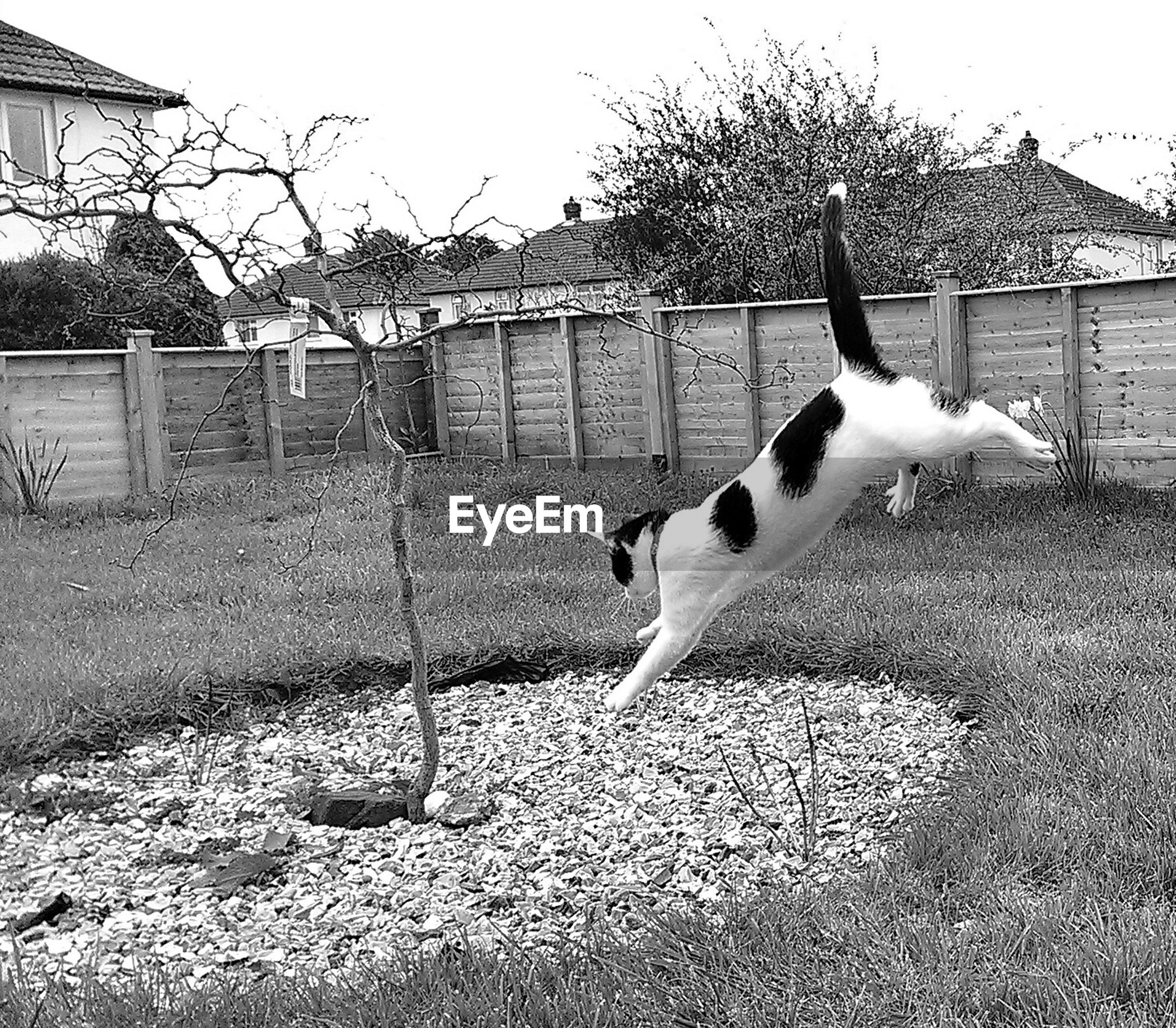Cat jumping over grassy field in yard against clear sky