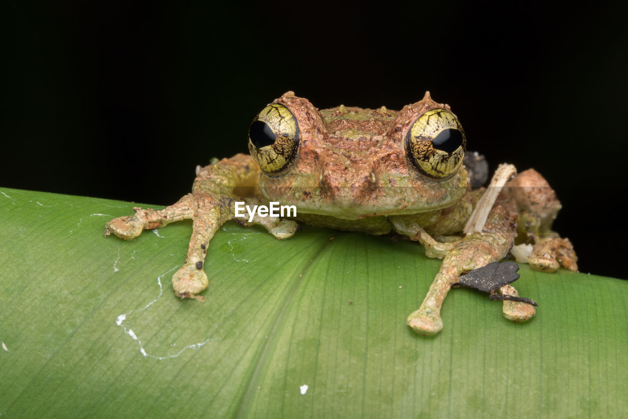 animal themes, animal, one animal, animal wildlife, animals in the wild, vertebrate, close-up, no people, reptile, green color, lizard, studio shot, amphibian, nature, animal body part, frog, black background, plant part, leaf, outdoors, animal head, animal eye