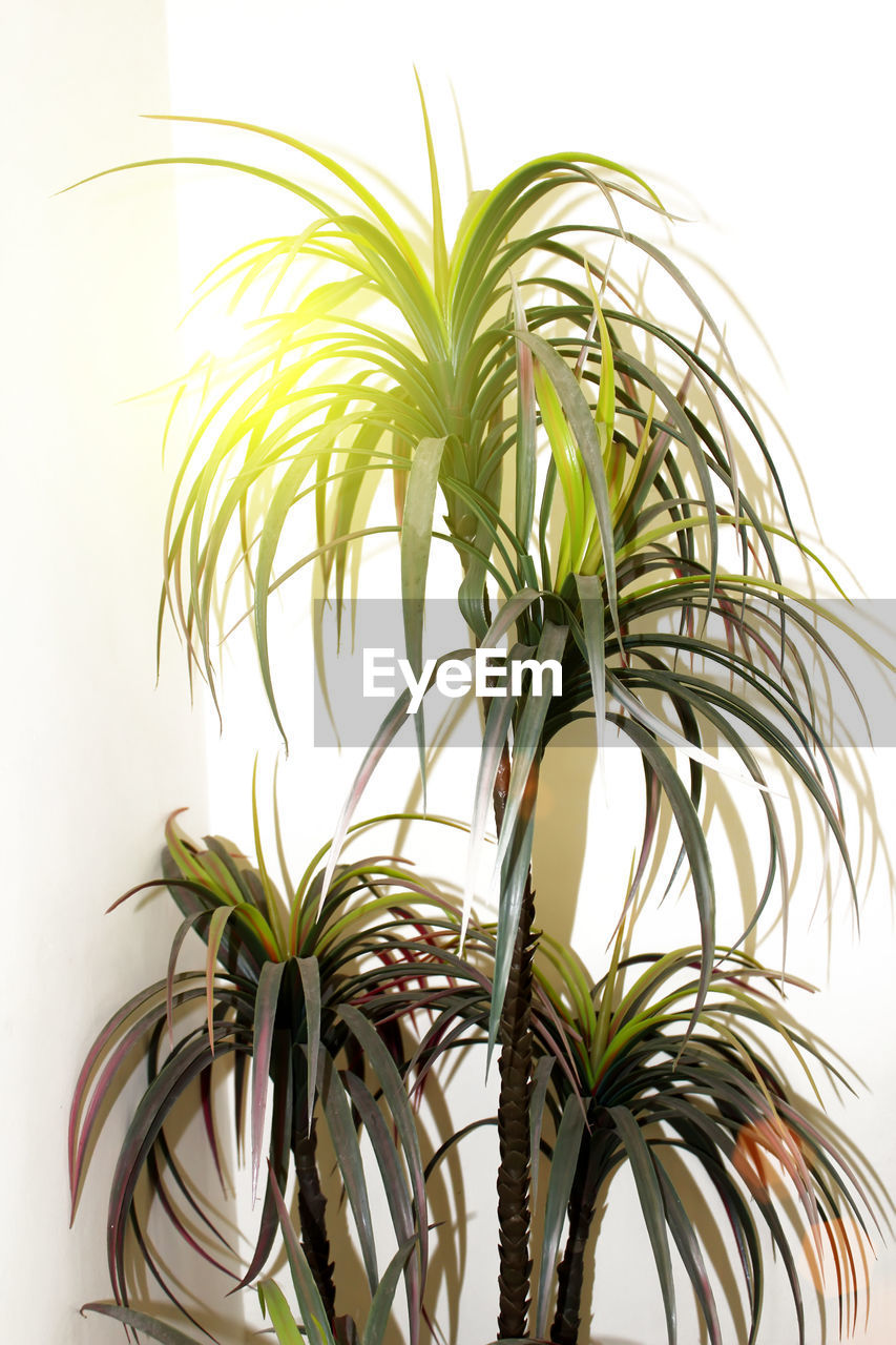 white background, studio shot, growth, leaf, plant part, green color, plant, close-up, indoors, no people, nature, tree, beauty in nature, cut out, day, potted plant, focus on foreground, freshness, rosemary, houseplant, palm leaf