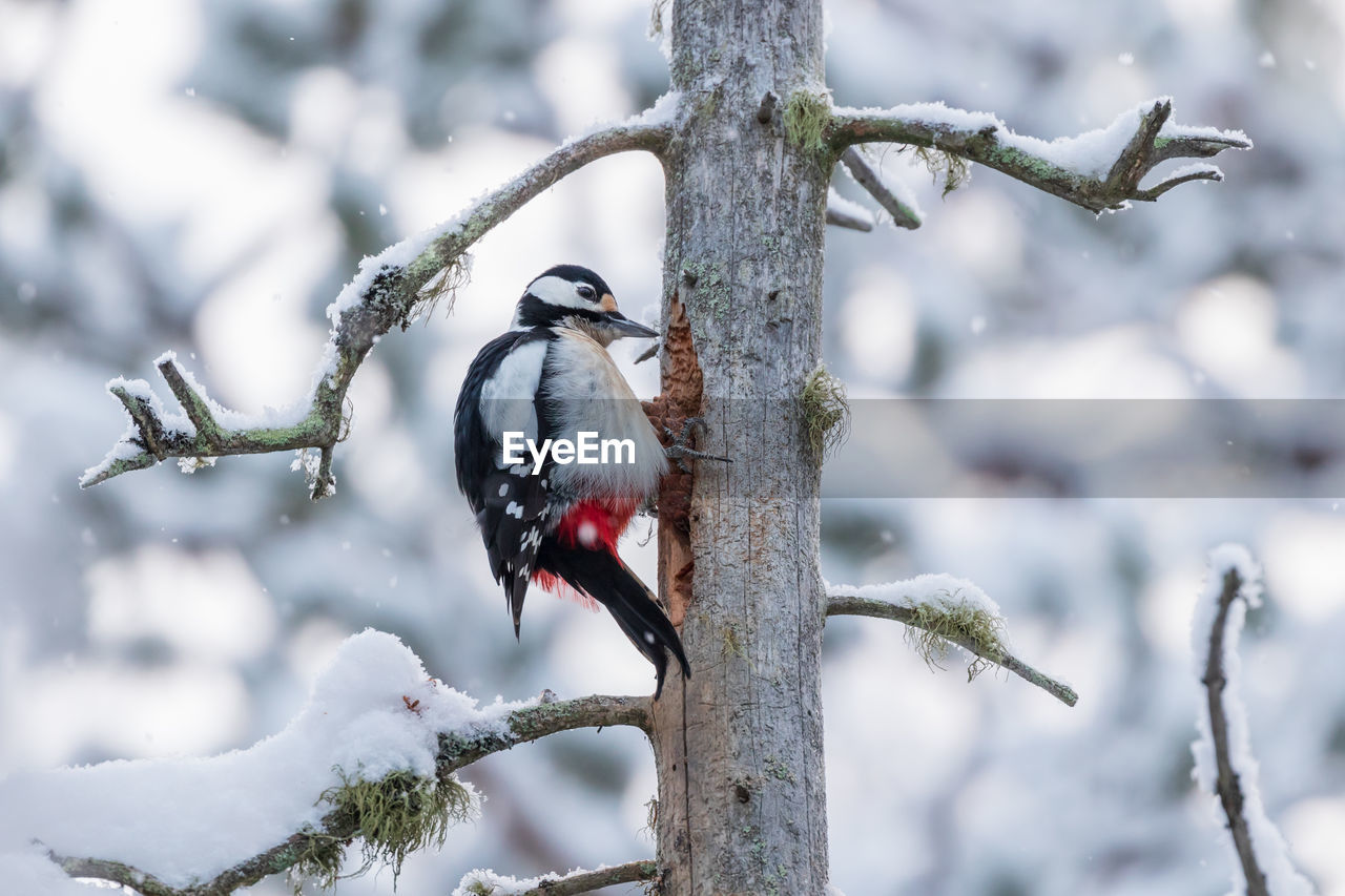 animal themes, animal, bird, vertebrate, animal wildlife, animals in the wild, one animal, tree, winter, perching, snow, cold temperature, focus on foreground, plant, branch, nature, no people, day, woodpecker, outdoors, snowing