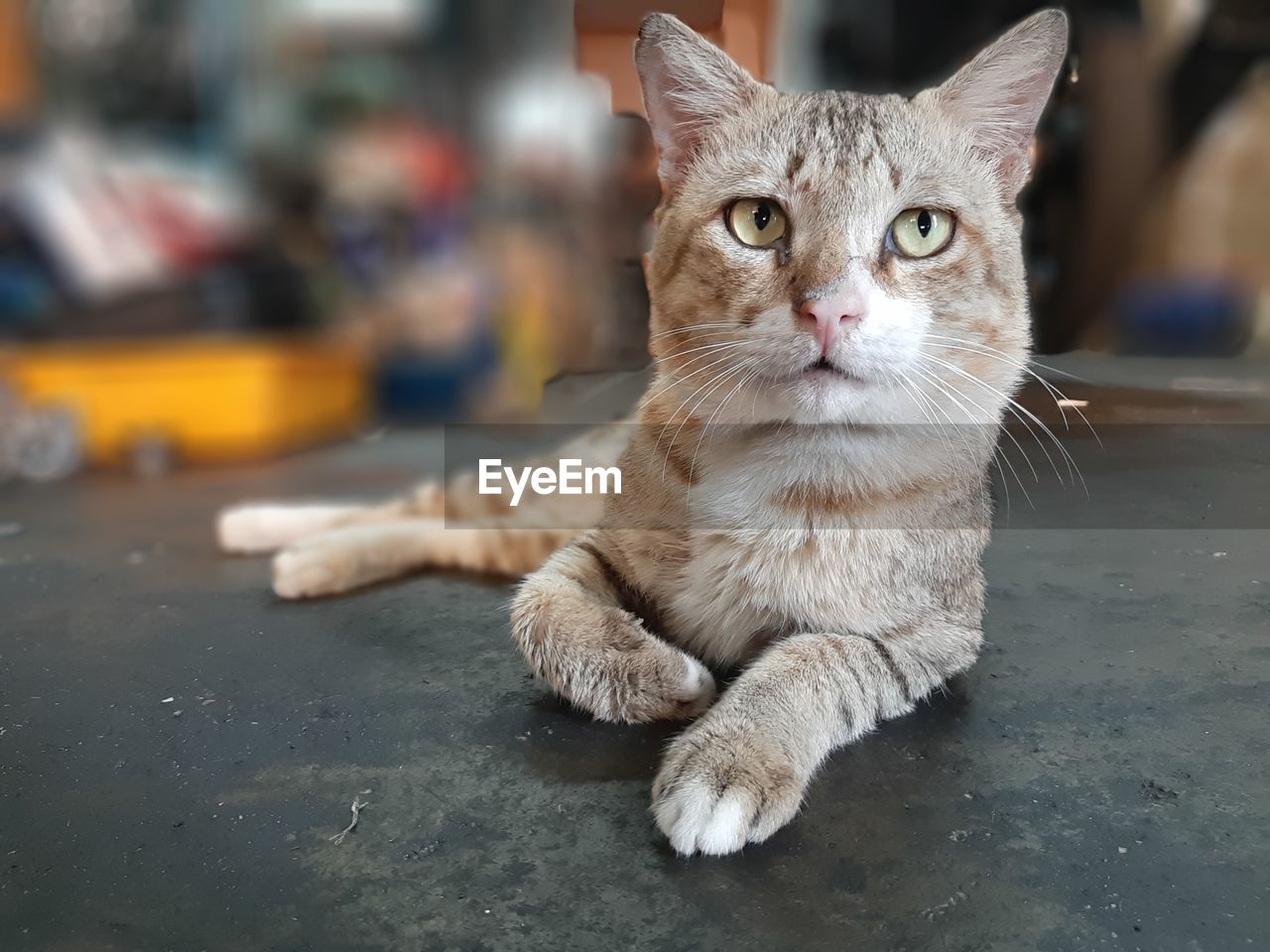domestic, pets, domestic animals, cat, domestic cat, feline, mammal, one animal, vertebrate, looking at camera, portrait, focus on foreground, whisker, relaxation, no people, close-up, indoors, animal eye, tabby