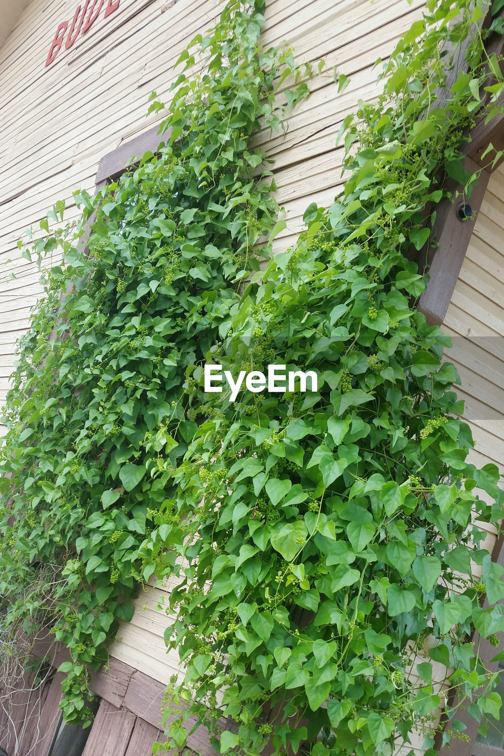 Tilt image of creepers growing on house
