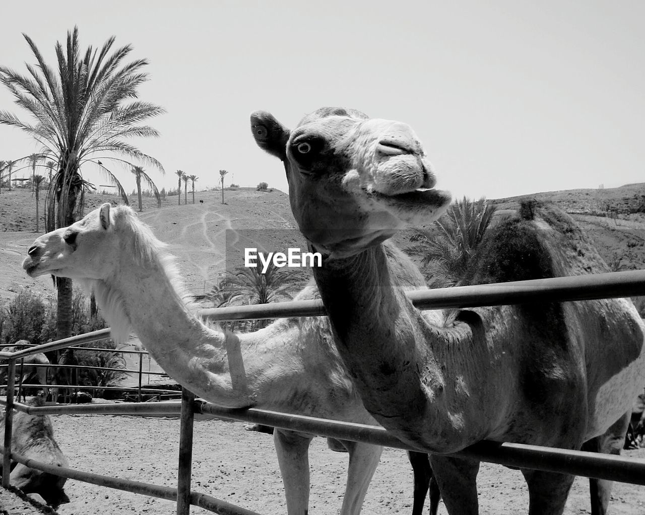 Camels standing by fence in arid landscape against sky on sunny day