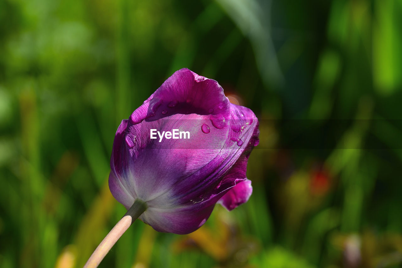 flower, flowering plant, plant, beauty in nature, fragility, freshness, vulnerability, growth, close-up, petal, focus on foreground, inflorescence, flower head, nature, no people, day, plant stem, pink color, purple, outdoors