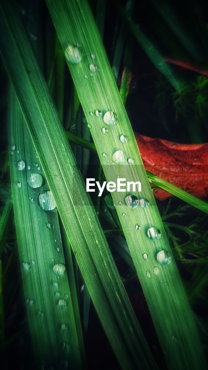 green color, drop, water, wet, leaf, plant part, plant, blade of grass, no people, close-up, growth, nature, grass, beauty in nature, freshness, rain, dew, purity, day, outdoors, raindrop, rainy season, leaves