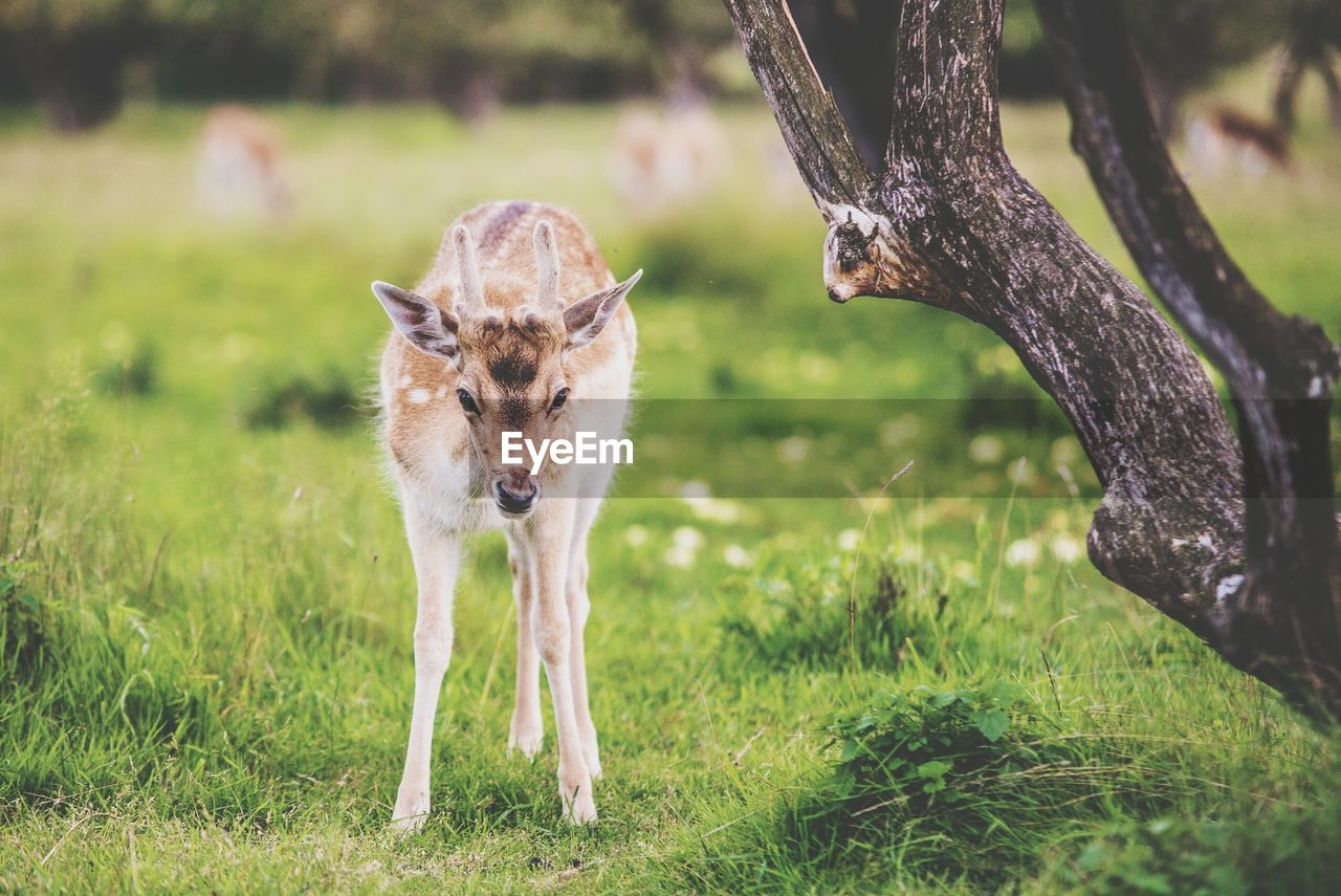 Close-up of young deer on grass