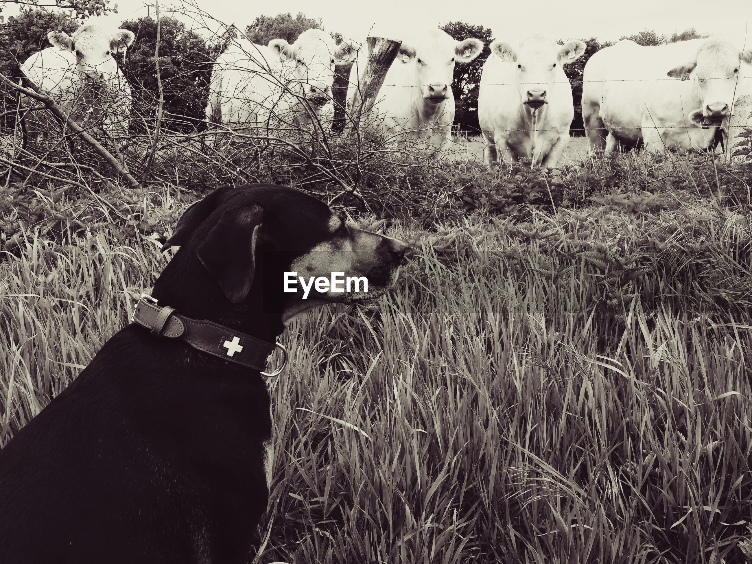 Cows looking at dog on grassy field