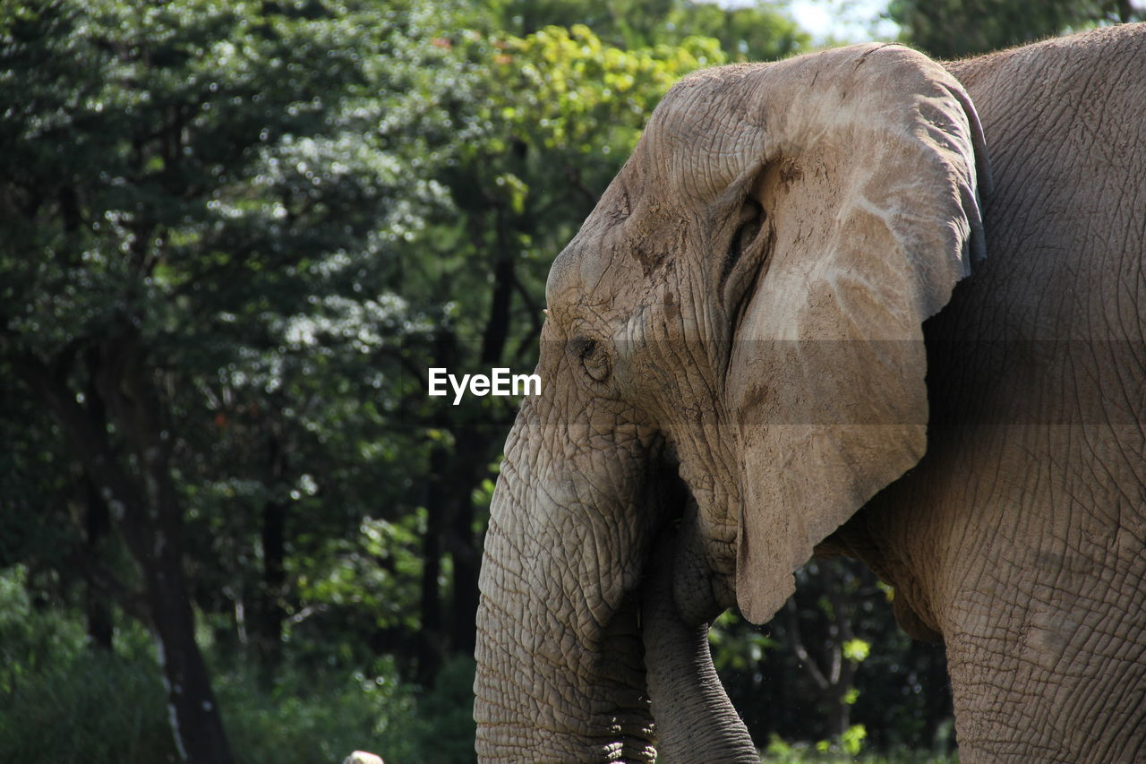 Side View Of Elephant Against Trees