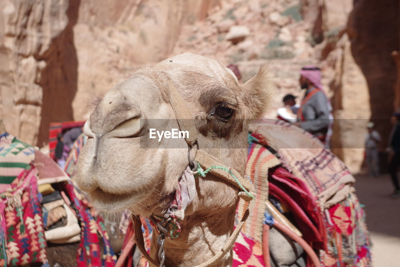 domestic animals, mammal, domestic, animal themes, pets, animal, camel, focus on foreground, livestock, one animal, vertebrate, working animal, incidental people, day, desert, close-up, bridle, animal body part, nature, herbivorous, animal head, outdoors, climate, arid climate