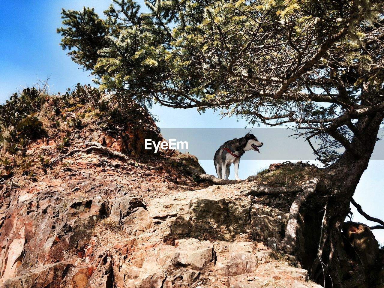 Low angle view of siberian husky on hill by tree
