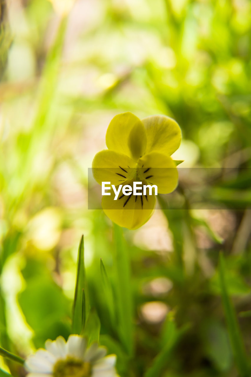 flowering plant, flower, yellow, plant, vulnerability, fragility, beauty in nature, freshness, growth, close-up, petal, focus on foreground, flower head, selective focus, nature, inflorescence, day, no people, outdoors, green color