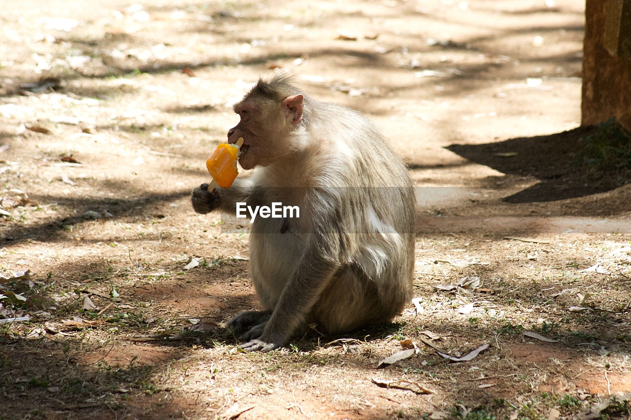 VIEW OF MONKEY EATING FOOD