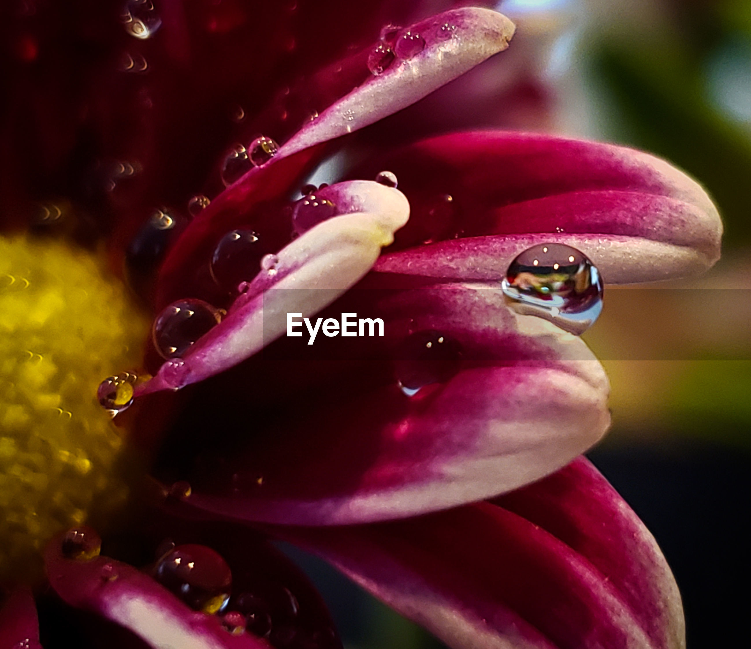 CLOSE-UP OF RAINDROPS ON PINK FLOWER