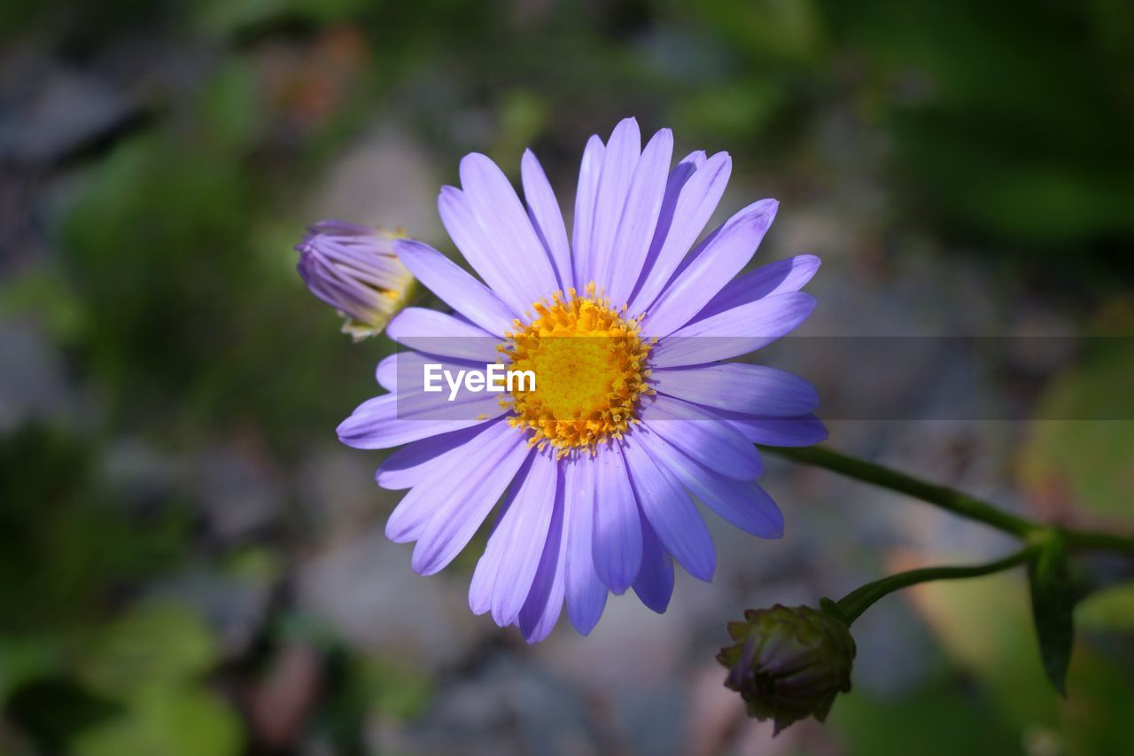 flower, nature, beauty in nature, petal, fragility, growth, plant, freshness, flower head, no people, outdoors, close-up, blooming, day