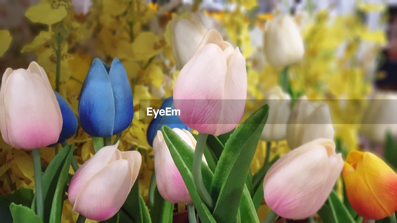 beauty in nature, flowering plant, flower, freshness, vulnerability, plant, fragility, petal, close-up, growth, flower head, inflorescence, tulip, nature, no people, focus on foreground, day, land, field, white color, outdoors, springtime, purple, flowerbed