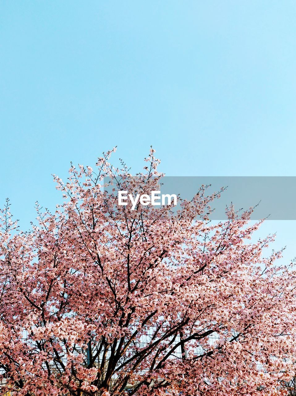 sky, tree, low angle view, plant, beauty in nature, blossom, nature, fragility, clear sky, pink color, flowering plant, flower, no people, day, growth, branch, cherry blossom, springtime, vulnerability, copy space, cherry tree, outdoors, spring