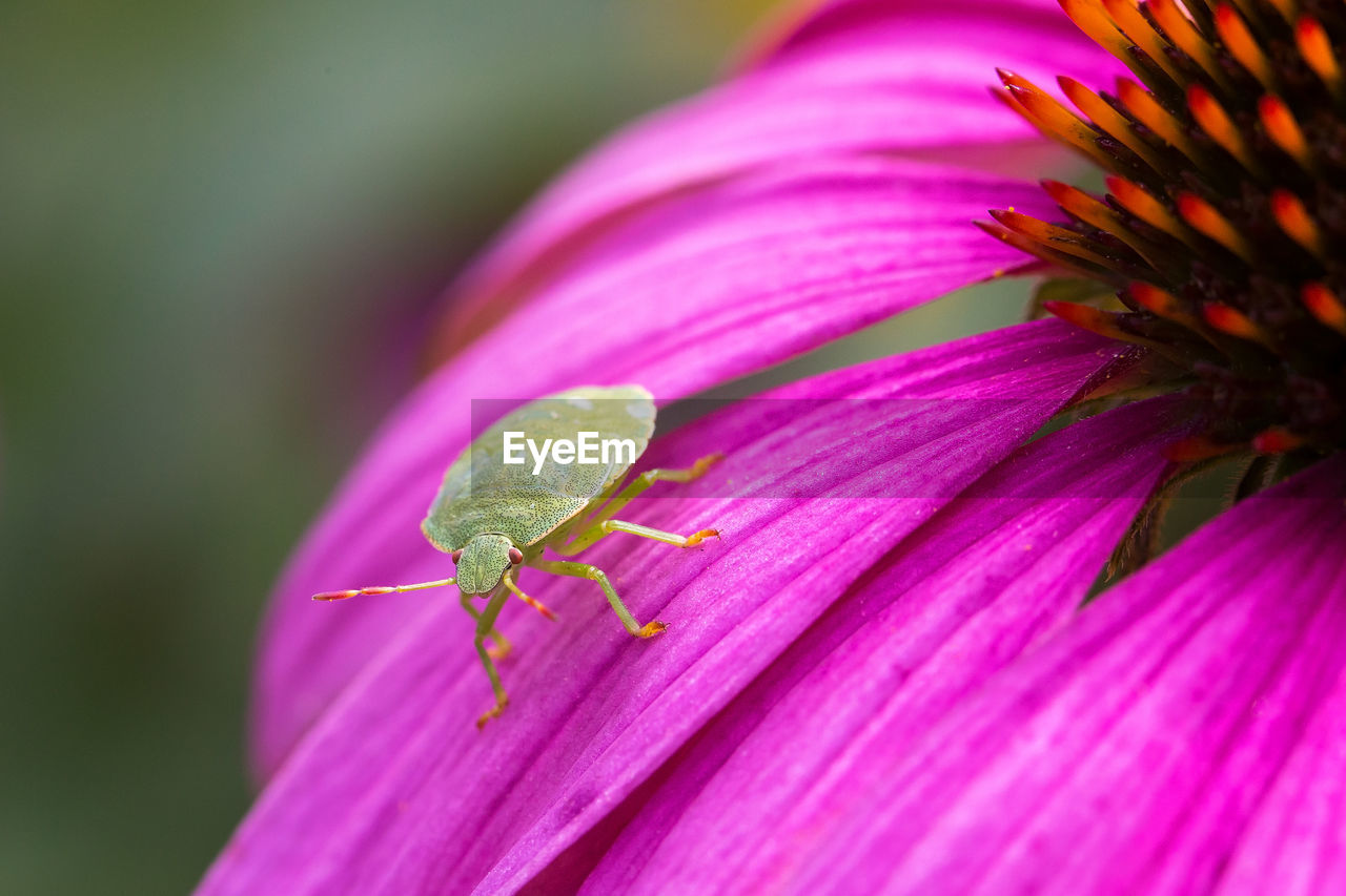 pink color, close-up, vulnerability, growth, plant, one animal, invertebrate, fragility, animal wildlife, flowering plant, flower, animal themes, leaf, animals in the wild, beauty in nature, animal, insect, no people, plant part, nature, outdoors, flower head, purple