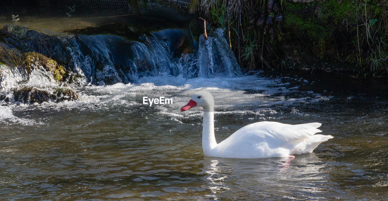 water, animal themes, bird, animal, animals in the wild, animal wildlife, swan, vertebrate, lake, swimming, nature, group of animals, day, white color, zoology, water bird, waterfront, no people, animal neck, flowing water, animal family, cygnet