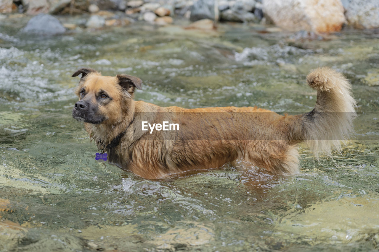 mammal, animal, animal themes, one animal, domestic animals, pets, water, domestic, vertebrate, canine, dog, day, brown, waterfront, nature, wet, motion, no people, side view, animal head