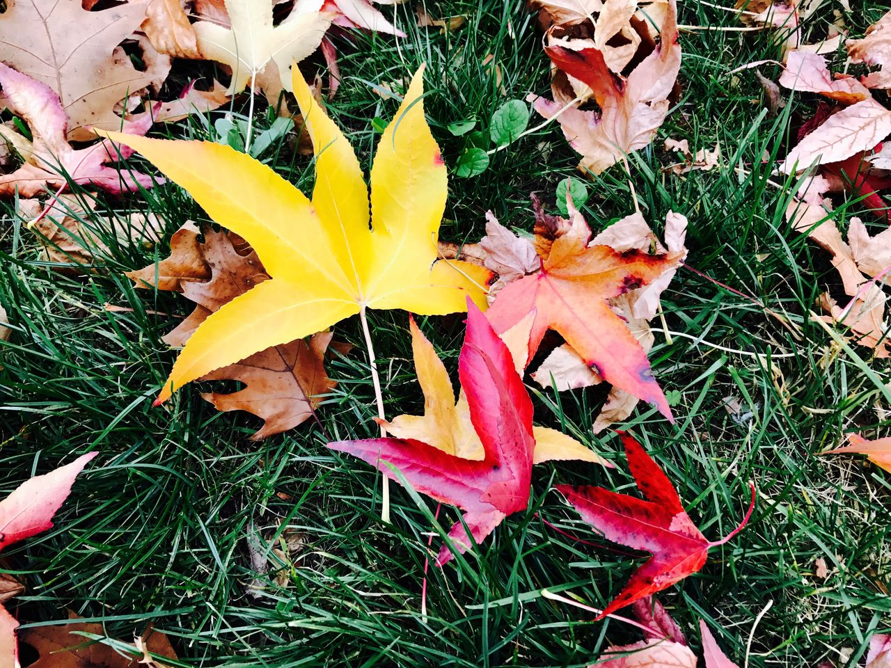 leaf, change, autumn, nature, dry, fragility, day, outdoors, high angle view, yellow, beauty in nature, grass, no people, close-up, growth, maple leaf, maple, freshness, flower head