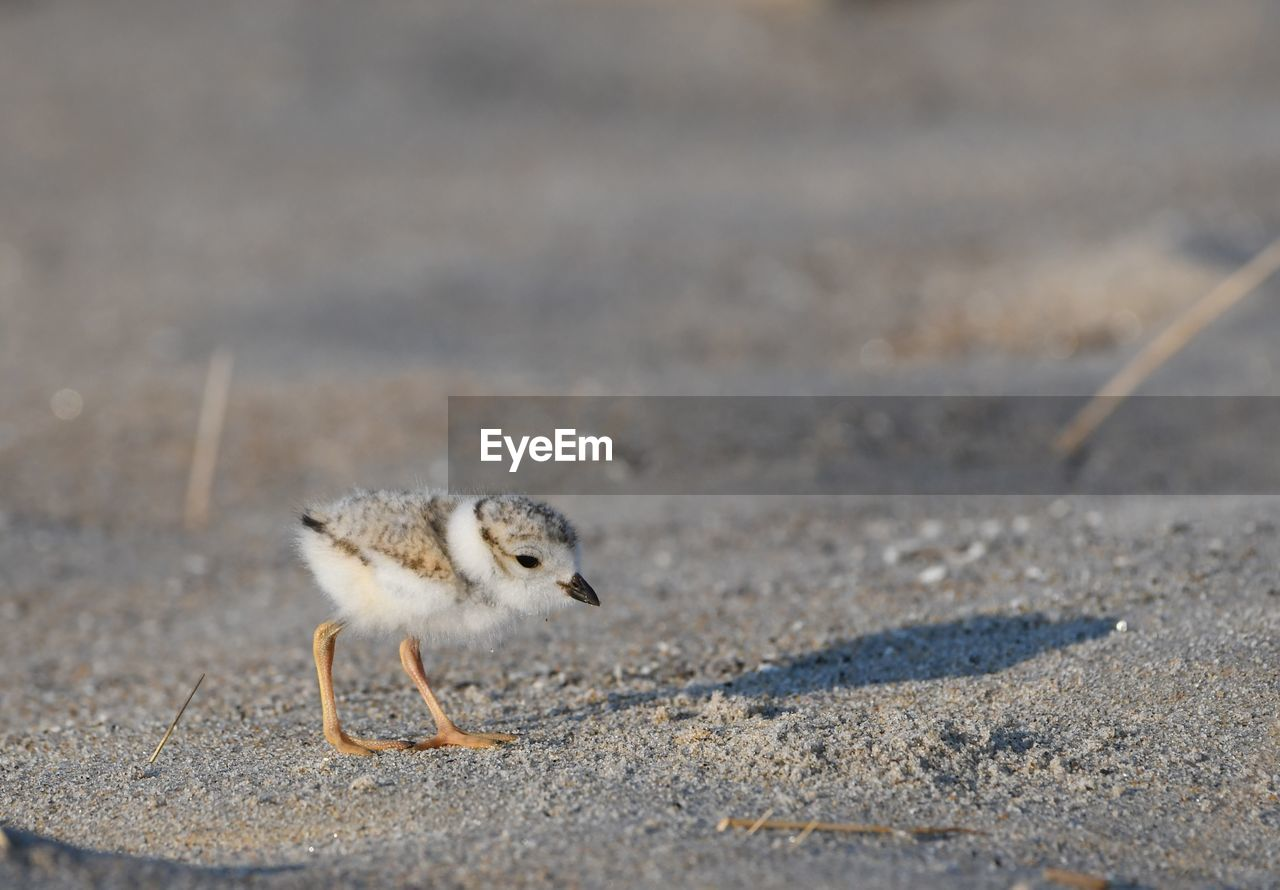 animal themes, animal, one animal, animal wildlife, animals in the wild, vertebrate, bird, no people, day, nature, land, young animal, sunlight, outdoors, selective focus, young bird, sand, focus on foreground, close-up, mammal
