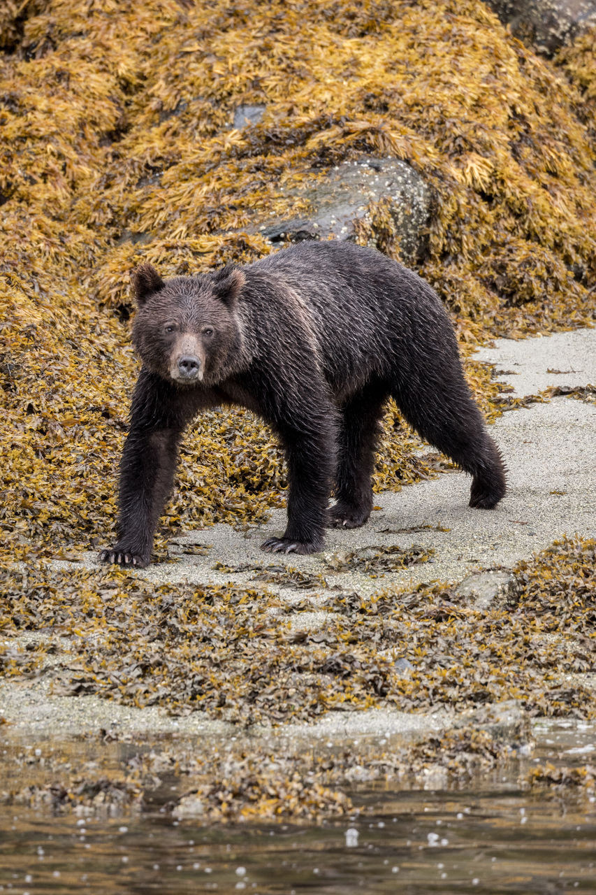 animal, animal themes, animal wildlife, bear, animals in the wild, mammal, one animal, no people, nature, water, full length, day, vertebrate, hunting, walking, grizzly bear, survival, animals hunting, outdoors