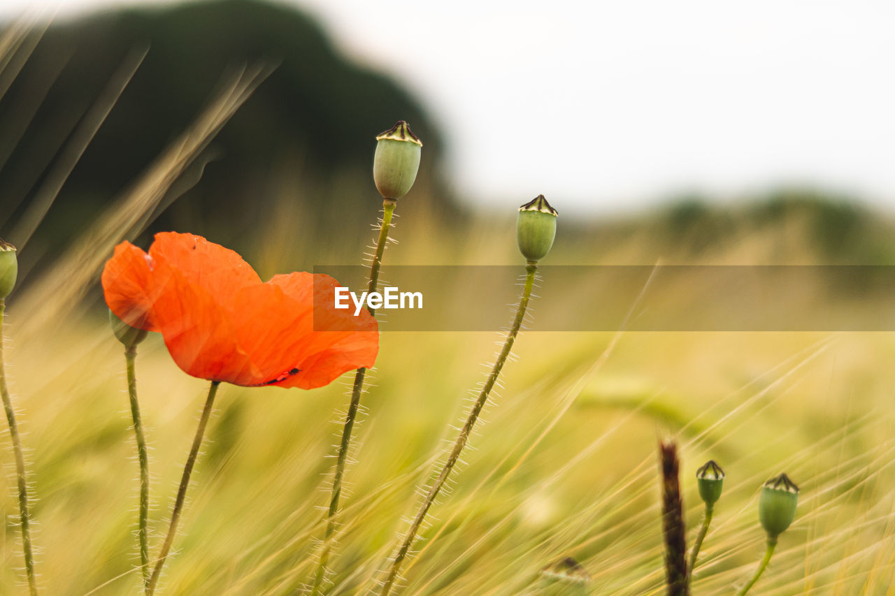 plant, flower, flowering plant, growth, beauty in nature, fragility, vulnerability, close-up, poppy, nature, focus on foreground, land, freshness, no people, field, petal, selective focus, flower head, bud, day, outdoors