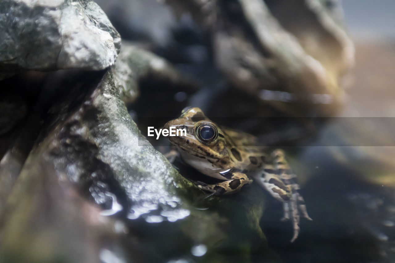 animal, animal themes, animal wildlife, animals in the wild, vertebrate, one animal, selective focus, reptile, close-up, amphibian, no people, solid, nature, rock, frog, rock - object, water, day, animal body part, animal head, animal eye