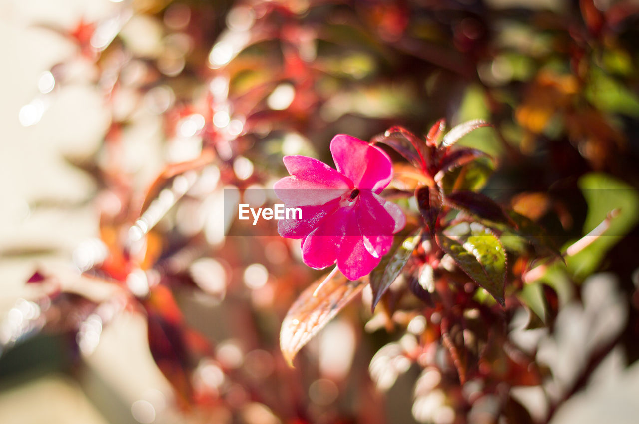 flower, growth, petal, nature, fragility, beauty in nature, pink color, freshness, selective focus, no people, plant, flower head, close-up, leaf, day, outdoors, blooming, branch, tree, periwinkle