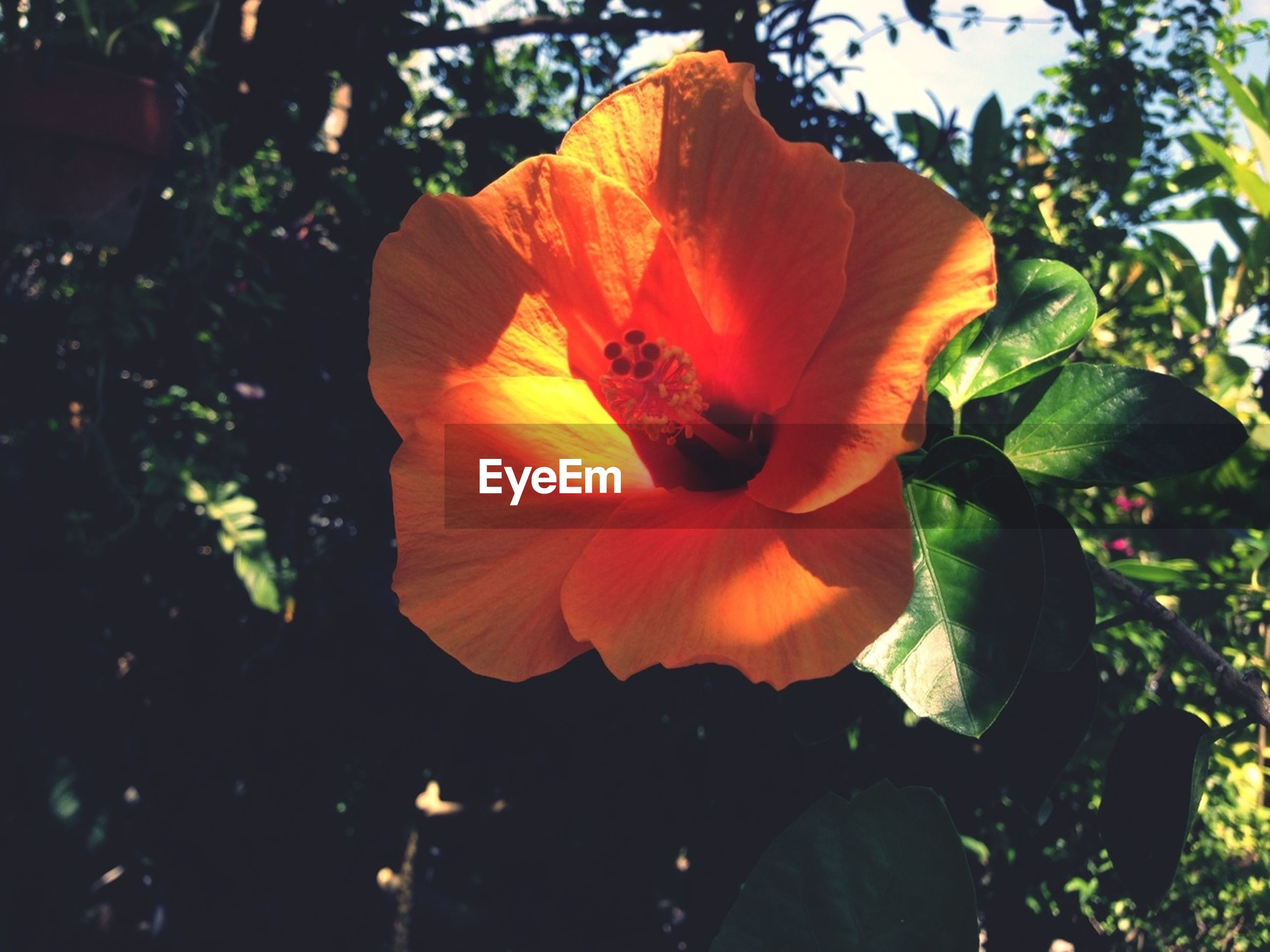 flower, petal, growth, flower head, fragility, freshness, beauty in nature, leaf, orange color, nature, plant, close-up, single flower, blooming, hibiscus, sunlight, low angle view, focus on foreground, outdoors, in bloom
