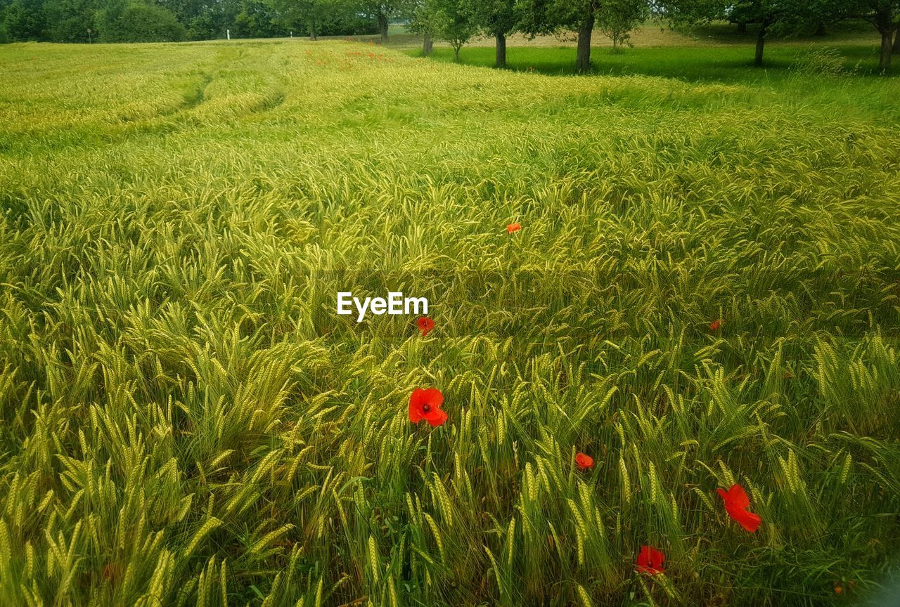 growth, field, flower, nature, poppy, red, green color, beauty in nature, grass, no people, rural scene, day, agriculture, outdoors, plant, summer, freshness, cereal plant, flower head