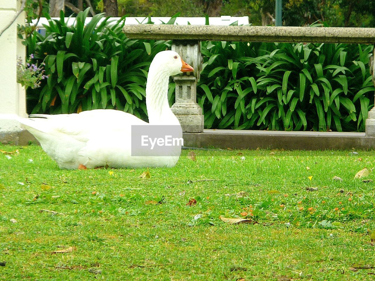 animal themes, grass, animals in the wild, day, green color, plant, bird, outdoors, one animal, nature, animal wildlife, growth, no people, swan, beauty in nature, close-up