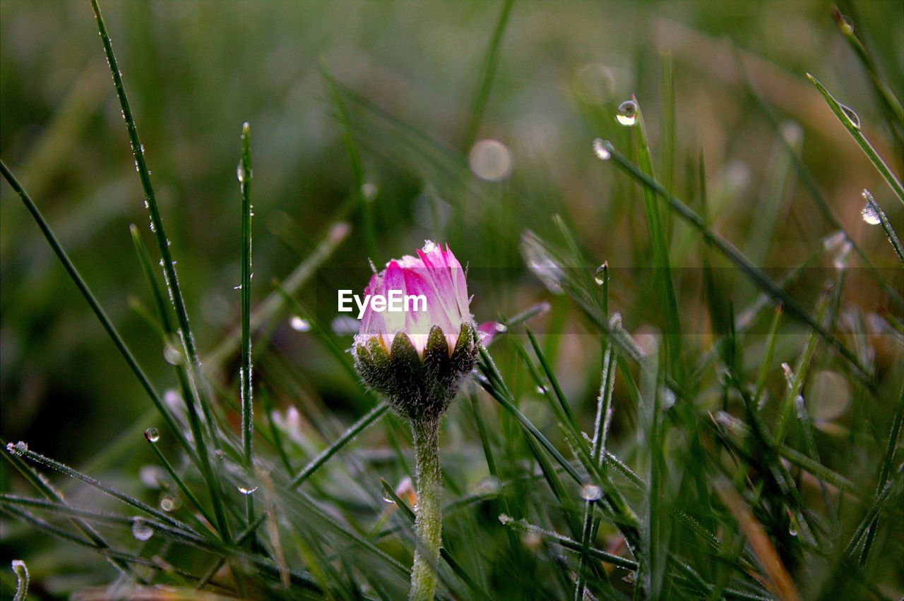 plant, flower, freshness, flowering plant, fragility, growth, vulnerability, beauty in nature, close-up, inflorescence, pink color, flower head, nature, petal, field, land, day, focus on foreground, no people, grass, outdoors, dew