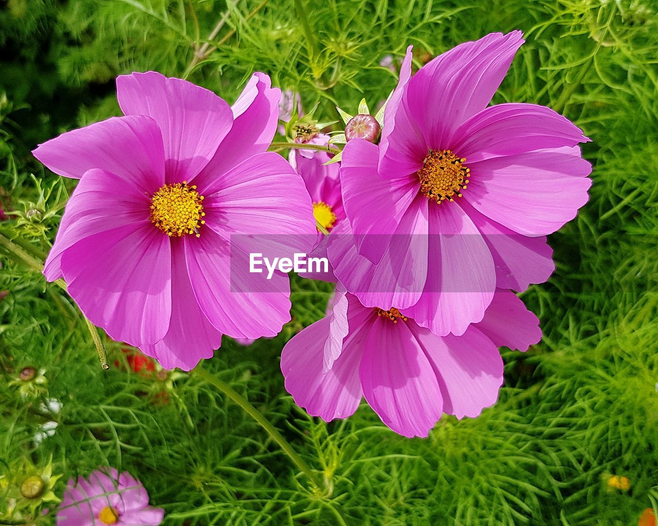flowering plant, flower, plant, freshness, fragility, pink color, growth, petal, vulnerability, inflorescence, flower head, close-up, beauty in nature, nature, no people, day, focus on foreground, cosmos flower, pollen, grass, outdoors, purple