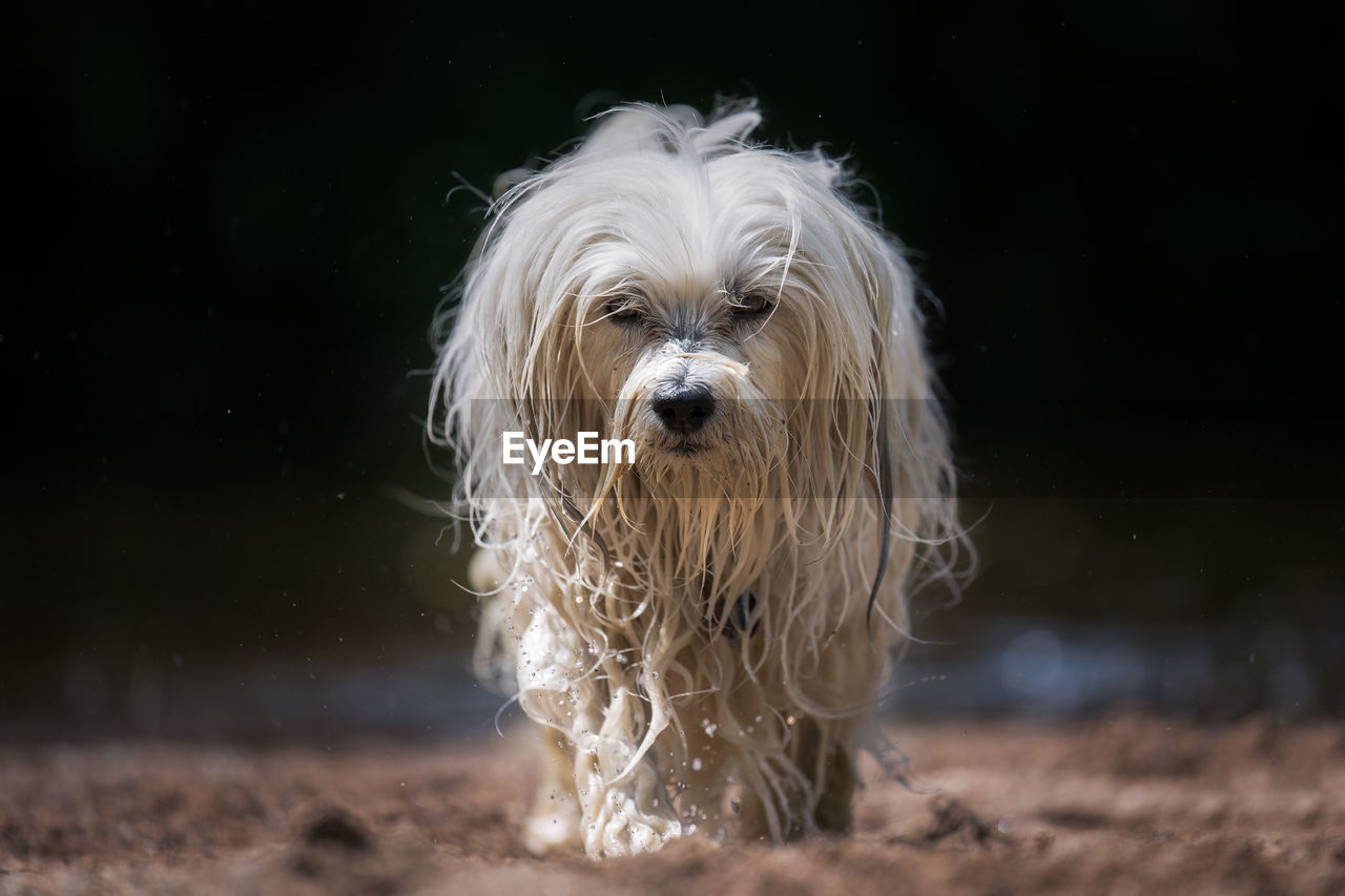 one animal, pets, mammal, canine, dog, animal, domestic, domestic animals, animal themes, hair, animal hair, looking at camera, portrait, vertebrate, no people, land, white color, nature, motion, focus on foreground, animal head, animal mouth