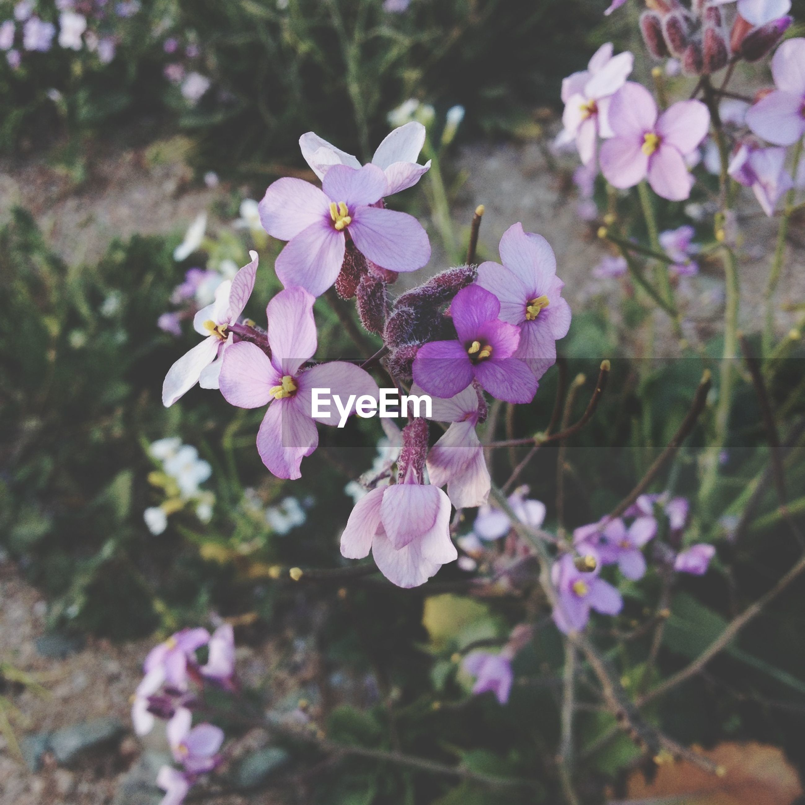 flower, freshness, growth, fragility, purple, beauty in nature, focus on foreground, petal, nature, close-up, blooming, plant, in bloom, flower head, blossom, branch, pink color, day, outdoors, springtime