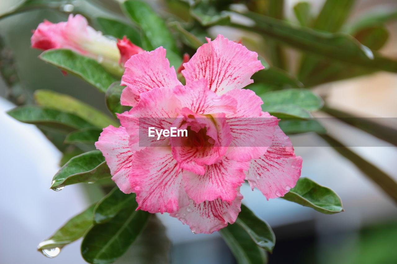 flower, fragility, petal, flower head, nature, beauty in nature, pink color, freshness, growth, close-up, day, plant, no people, focus on foreground, leaf, outdoors, hibiscus, blooming, periwinkle