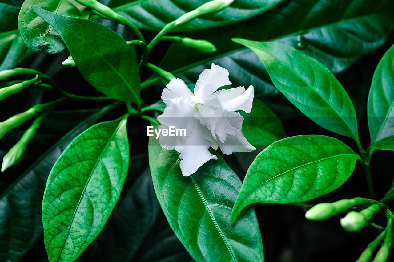 Close-up of white flowering plant leaves