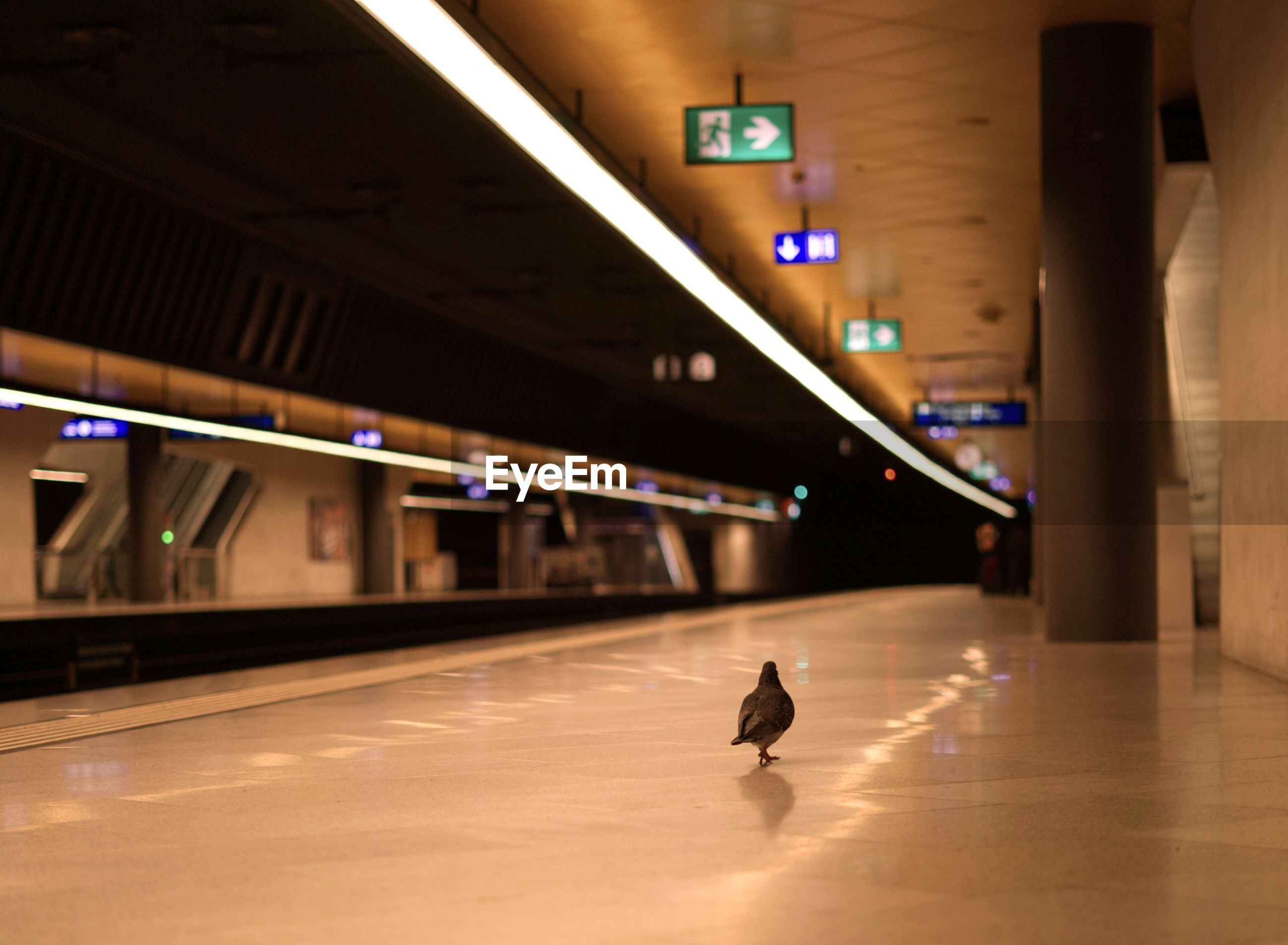 Pigeon in a empty railroadstation during corona crisis