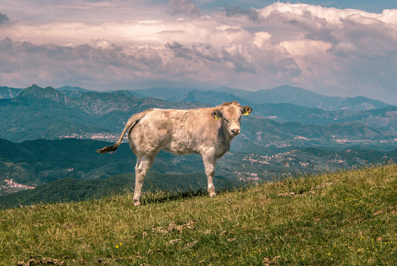 Side View Of Cow On Grassy Field Against Mountains